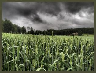 Vehnäpelto myrskysäässä